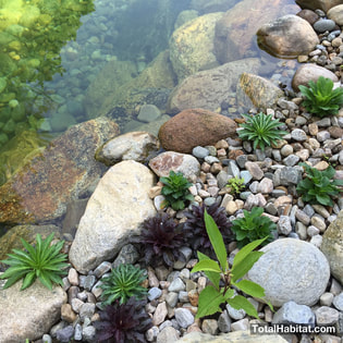 Water Plants in Natural Swimming Pool/Pond